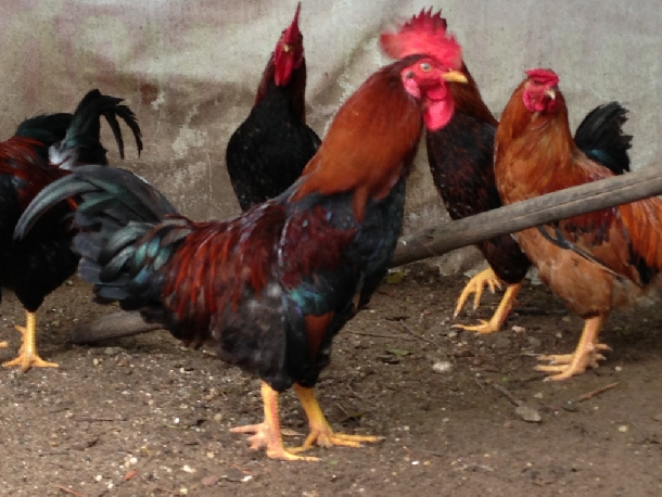 Một số giống gà nội địa được nuôi phổ biến hiện nay