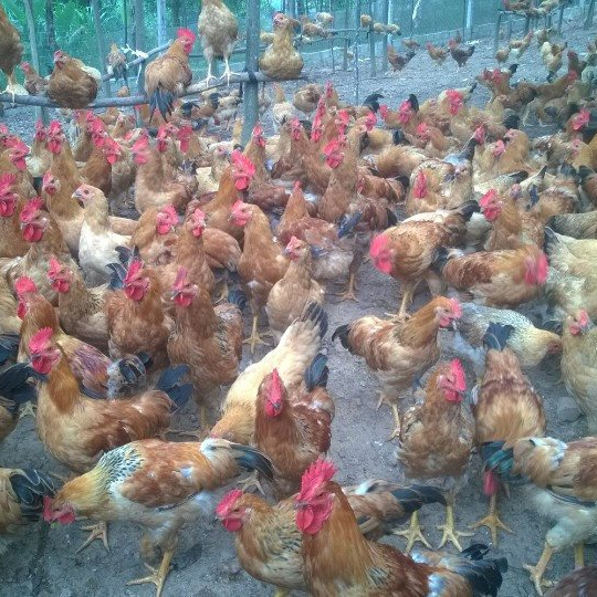 Phân phối gà ta lai giống chất lượng toàn quốc