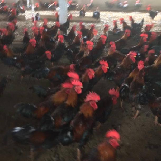 Phân phối gà mía thuần ( gà mía sơn tây) giống chất lượng toàn quốc