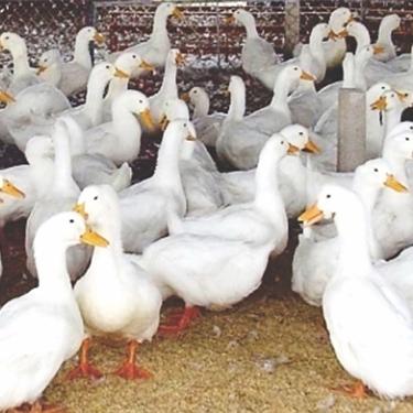 Phân phối vịt bầu cánh trắng giống chất lượng toàn quốc