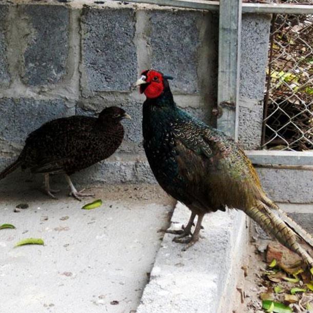 Phân phối chim trĩ xanh chất lượng cao giá rẻ toàn quốc