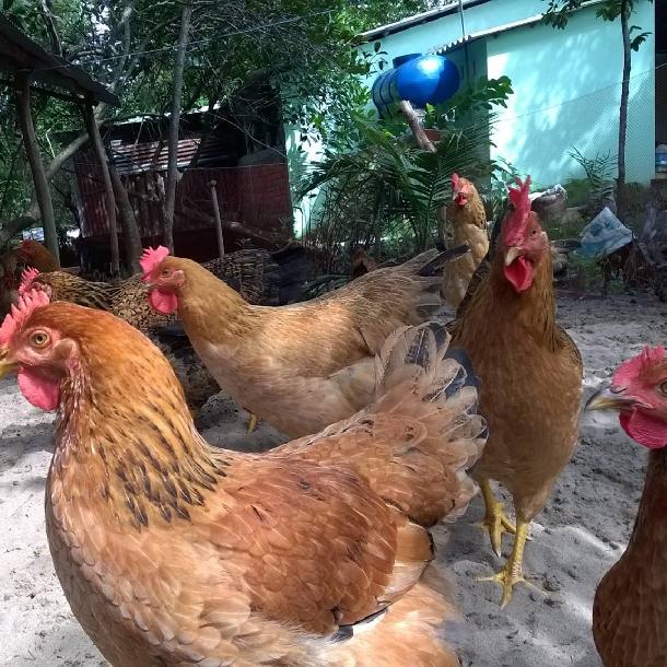 Phân phối gà tàu vàng chất lượng cao giá rẻ toàn quốc
