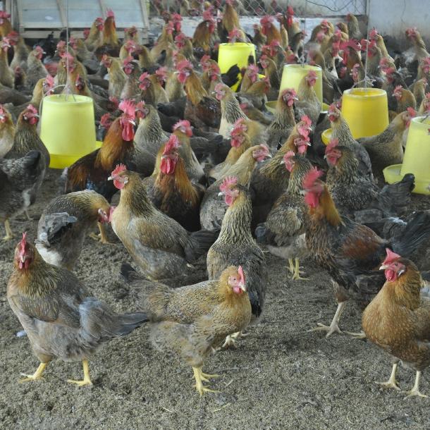 Phân phối gà siêu trứng VBT giống chất lượng toàn quốc