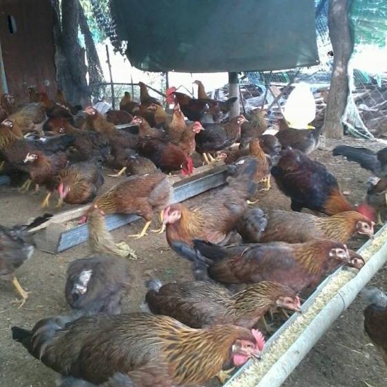 Phân phối gà D300 giống chất lượng toàn quốc