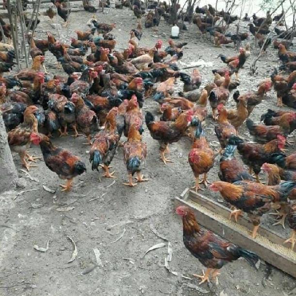 Phân phối gà hồ lai giống chất lượng toàn quốc