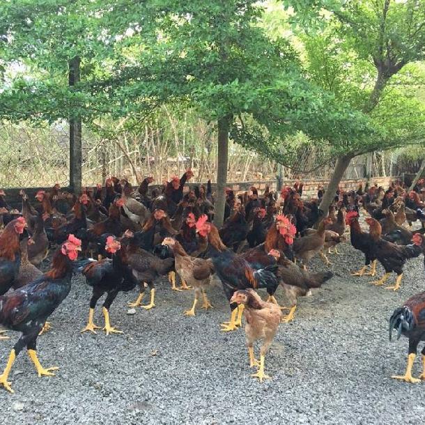 Phân phối gà ta lai nòi giống chất lượng toàn quốc